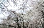 Sakura090001